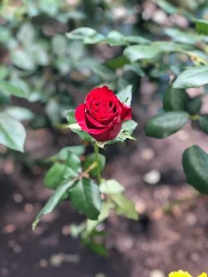 Роза красная Престиж, 50-60 см - заказ и доставка цветов Киев