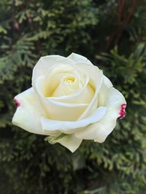 Роза белая Премиум, 80 см - заказ и доставка цветов Киев