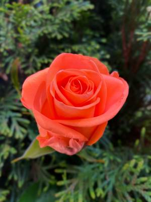 Роза коралловая, 50 см - заказ и доставка цветов Киев