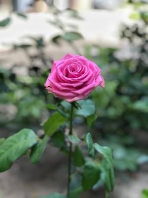 Роза розовая, 50-60 см - заказ и доставка цветов Киев