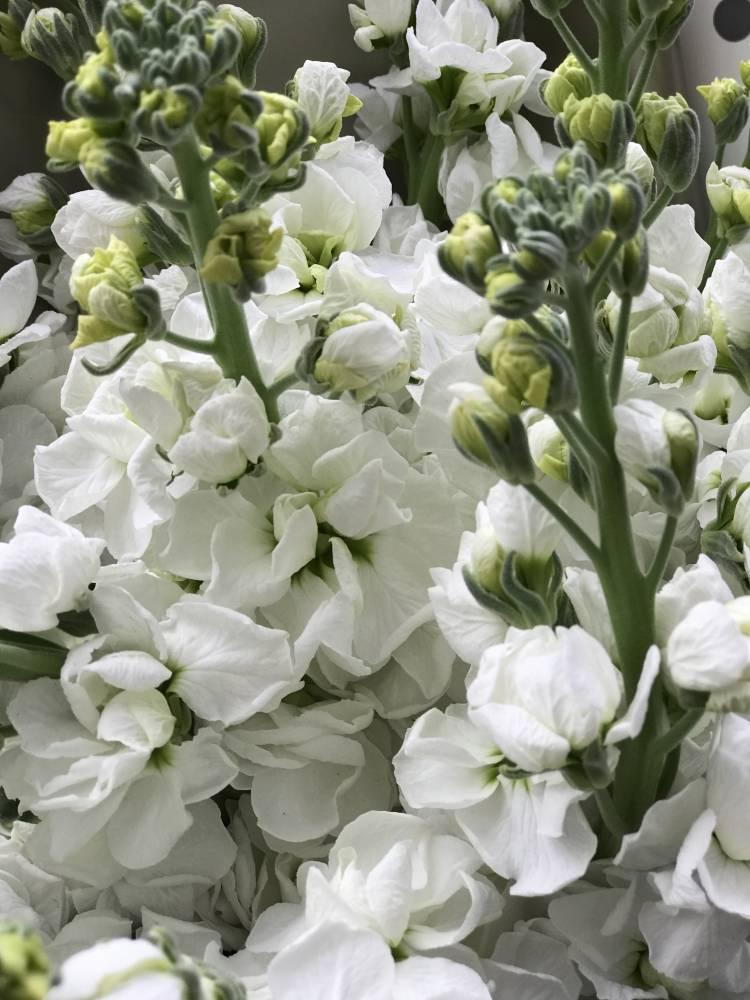 Букет 7 белых маттиол