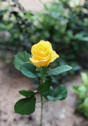 Роза желтая, 50 см - заказ и доставка цветов Киев