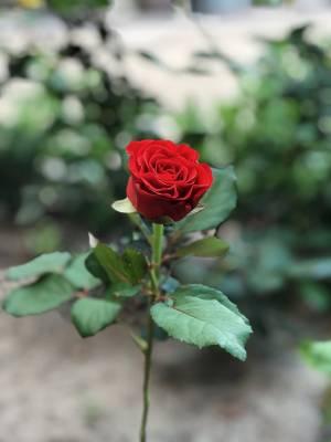 Роза красная  Эль Торо, 50см - заказ и доставка цветов Киев