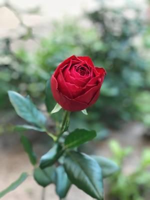 Роза красная Премиум, 70-80 см - заказ и доставка цветов Киев