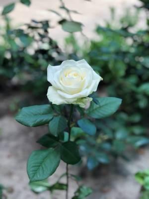 Роза белая Аваланч, 50 см - заказ и доставка цветов Киев