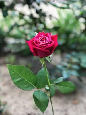 Роза малиновая, 50 - 60 см - заказ и доставка цветов Киев